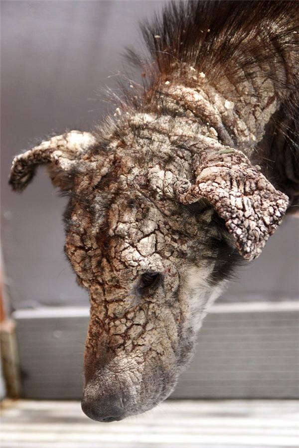 Chú chó hoang 5 tuổi bệnh nặng đến nỗi toàn khuôn mặt như hóa thành đá.