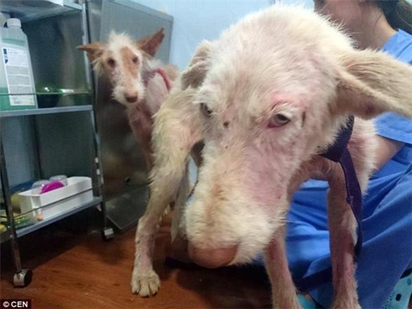 Xót xa 2 chú chó bị bỏ đói và ném khỏi xe tải đang chạy