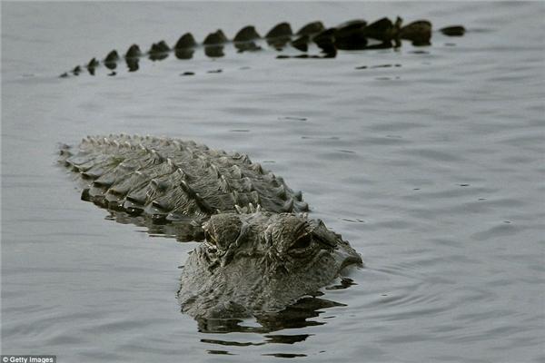 Theo thống kê của Ủy ban bảo tồn động vật hoang dã Florida, từ năm 2010 đến nay đã có 41 cuộc tấn công vô cớ của cá sấu trong toàn tiểu bang. (Ảnh Getty Images)