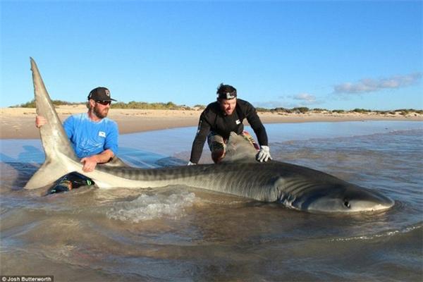 Hai thợ săn nhẫn tâm lôi cá mập vào bờ chỉ đểchụp ảnh.