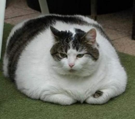 """Hội mèo béo xin hân hạnh ra mắt """"bà con cô bác"""" xa gần. Hội chúng tôi chỉ tiếc là mỡ không thể đẩy được lên đầu để... """"phình"""" cân đối thôi."""