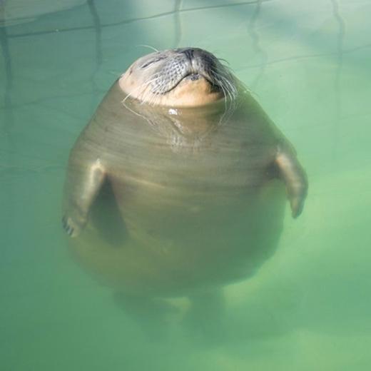 Là mập thật đấy, không phải do ảo ảnh dưới nước đâu.
