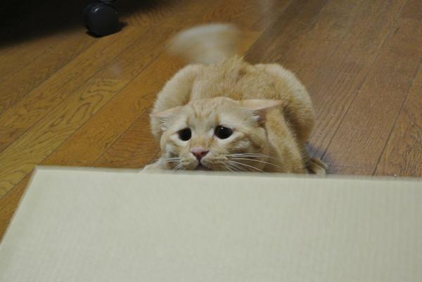 """Tấm hình đã đưa chú mèo dễ thương này đến với sự chú ý của đông đảo cộng đồng mạng chính là lúc đuôi đang vẫy lia lịa vì thích thú mà mặt thì cứ như """"mất sổ gạo""""."""