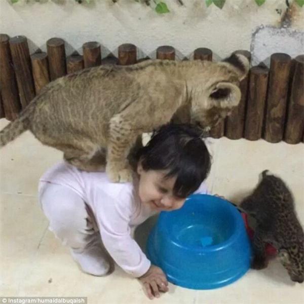 Thậm chí Humaid còn để cho chú sư tử con của mình leo lên lưng một bé gái trong khi cạnh đó còn có một chú báo đốm con.