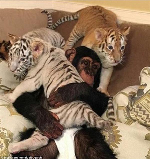 Đặc biệt là Humaid rất hay để cho những con thú săn mồi này chơi chung với những con khỉ của anh.