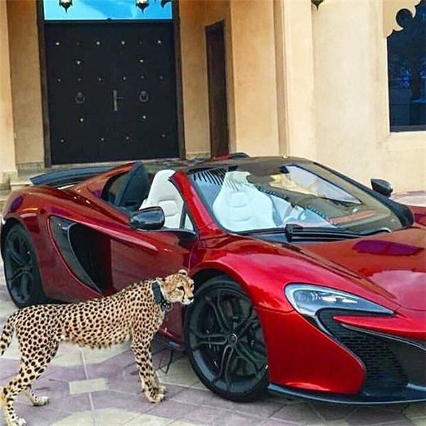 Humaid AlBuQaish luôn hào phóng khoe với 859.000 người theo dõi Instagram của mình hình ảnh bầy thú cưng gồm báo đốm, sư tử và linh trưởng đủ loại của mình.
