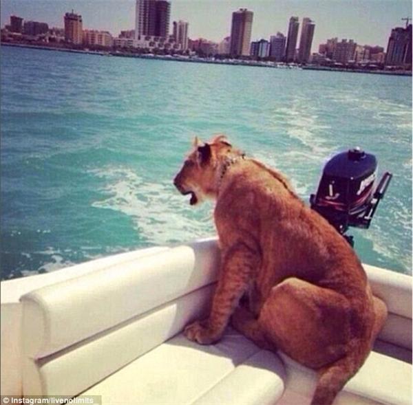 Một chú sư tử có vẻ khá thích thú khi được chủ nhân dẫn đi dạo biển trên ca-nô.