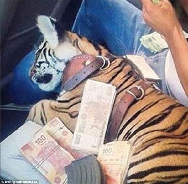 Một chú cọp con đang ngoan ngoãn ngủ yên trên xe, gối đầu lên đùi chủ và nằm dưới... một đống tiền.