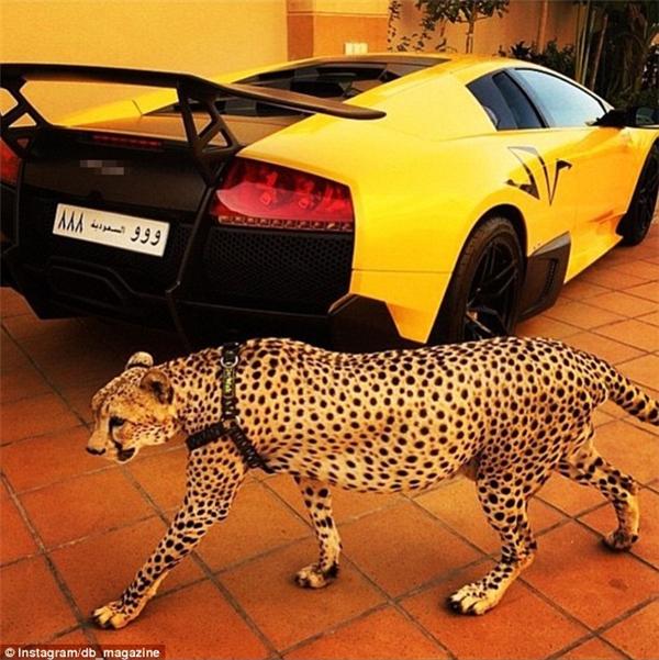 """Ảnh một chú báo đốm đi ngang chiếc siêu xe tiền tỷ đã được chủ nhân chú thích: """"Chiếc xe hoàn hảo để đua với thú cưng hoàn hảo."""""""