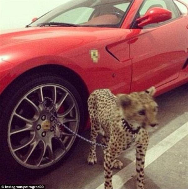 Tuy nhiên việc dắt những loài thú cưng thế này ra đường là điều không dễ dàng nên chú báo này đã phải chịu cảnh... bị xích vào bánh siêu xe.