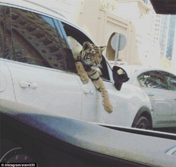 """Việc để thú cưng hoang dã chụp ảnh với siêu xe cũng là một trong những phong cách chụp hình khoe của phổ biến của """"hội con nhà giàu""""."""