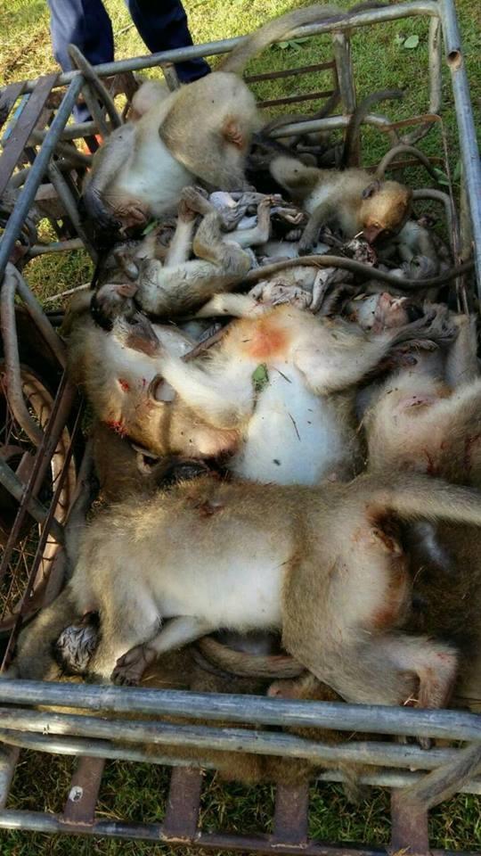 cái chết thương tâm của bầy khỉ