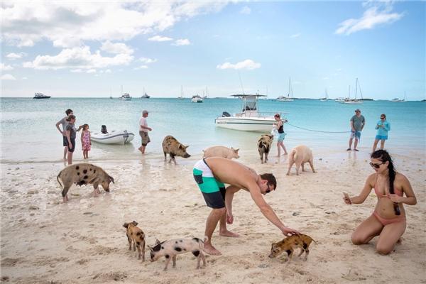 Bãi biển Big Major Cay nổi tiếng với dịch vụ bơi và lặn cùng heo. (Ảnh: Internet)
