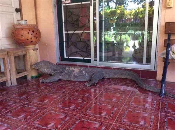 Đứng tim chết ngất khi phát hiện kì đà khổng lồ... chình ình trước cửa