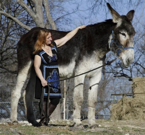 Chú lừa Romulus cao đến 68 inches và nặng đến 590 kg! (Ảnh: internet)
