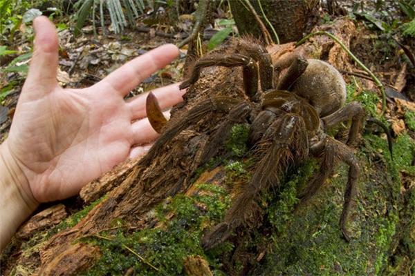 12 sinh vật lớn đến mức bạn không thể tin vào mắt mình