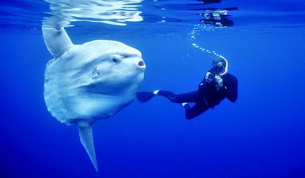Cá Thái Dương, đúng như tên gọi của mình, là loài cá có xương lớn nhất biển khơi. (Ảnh: Internet)