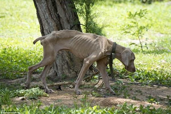 Đến người còn không có gì để ăn thì vật nuôi cũng trở nên thảm hại hơn bao giờ hết.