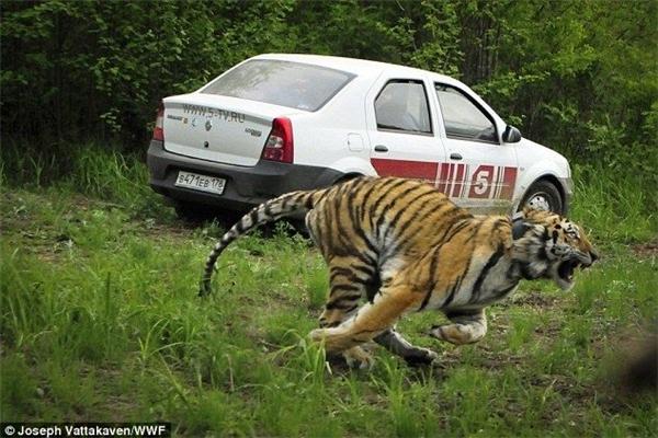 Chú hổ Siberian được gắn thiết bị định vị để theo dõi. (Ảnh: Internet)