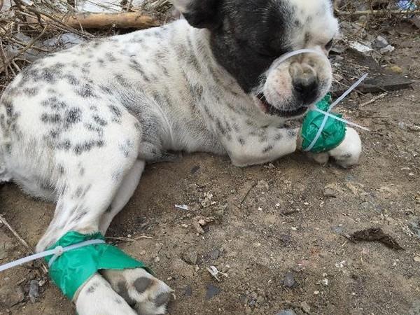 Một chú chó Bulldog tên Sorrow mà Ching đã giải cứu được tại Trung Quốc.
