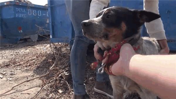 Chú chó dường như biết không ai có ý làm hại mình nên cũng đã để yên cho các tình nguyện viên bế nó về trung tâm.