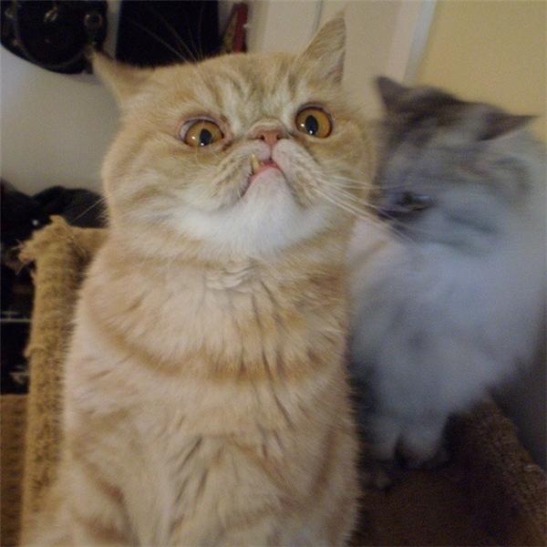 Đây là chú mèo với gương mặt ngang ngược đang gây sốt dân mạng