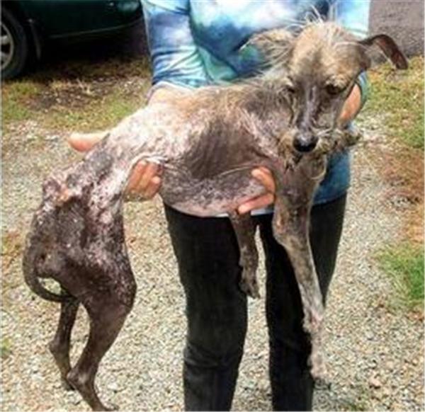 Chú chó này gần như đã cận kề với cái chết khi cơ thể chỉ còn làda bọc xương khi bị bỏ đói dài ngày. (Ảnh: Internet)