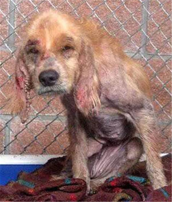Lông trụi gần hết do ghẻ lở, khắp cơ thể chi chít những vết thương, cô chó này thật dễkhiến người tarơi nước mắt. (Ảnh: Internet)