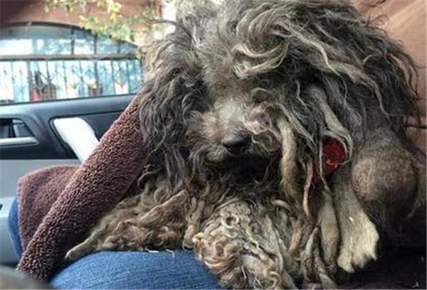 Dường như em chó này đã rất lâu rồi không được ai tắm rửa, tỉa lông. Những chùm lông dài, rậm thậm chí còn lấp hết cả mặt mũi khiến không ai nhận ra được đây là một em chó đáng yêu.(Ảnh: Internet)