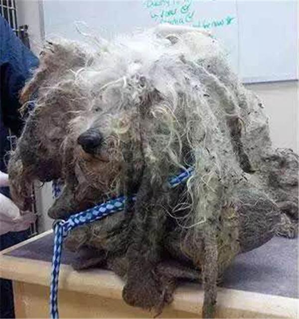 Chắc hẳn chú chó tội nghiệp này đã phải dầm mưa một ngày dài nên bộ lông đẹp đẽ mới xù hết lên như thế.(Ảnh: Internet)