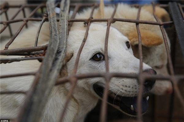 Hàng năm, tại lễ hội này có hơn 10.000 chó, mèo chờ bị người đến mua về làm thịt.(Ảnh: EPA)