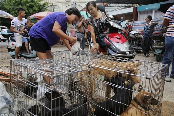 Được biết, Tổ chức Động vật châu Á (Animals Asia) vẫn thường xuyênvận động ngườichống lại lễ hội dã man này đồng thời yêu cầu chính phủ Trung Quốc cấm tiêu thụ thịt chó, mèo. (Ảnh: EPA)