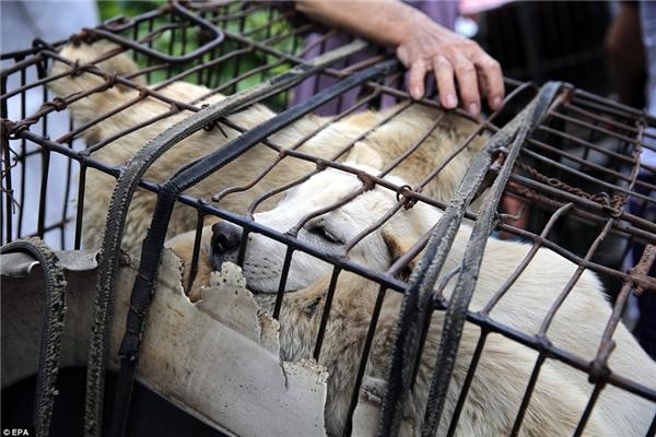 Những chú chó bị bọntrộm chó trái phép đánh cắp trên khắp cả nước Trung Quốc và đem về nơi này rao bán. (Ảnh: EPA)