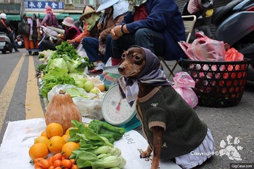 Số phận bi thương của những chú chó phải chịu cảnh con sen