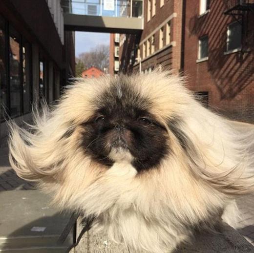 Wonton Soup - chú chó gây sốt với bộ lông dài thướt tha. (Ảnh: Internet)