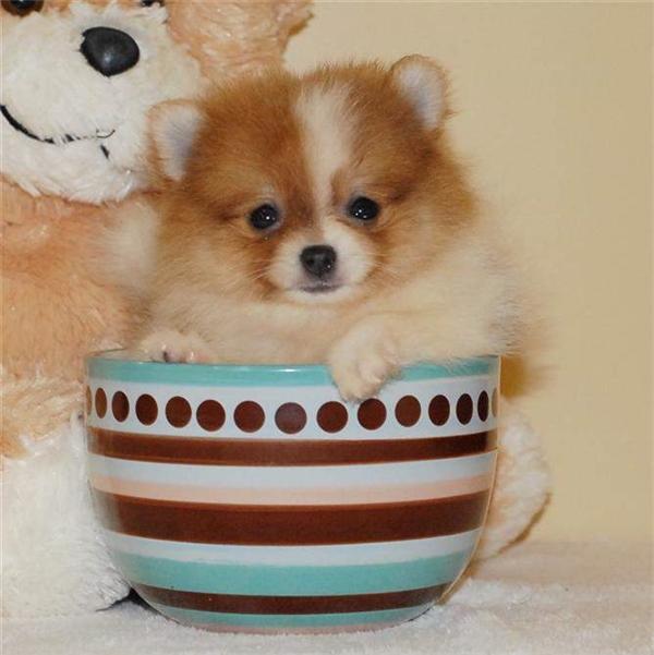 Đặc biệt là cái tên Teacup Pomeranian có được là do kích thước siêu nhỏ của các bé, có thể dễ dàng bỏ vừa vào các tách uống trà.