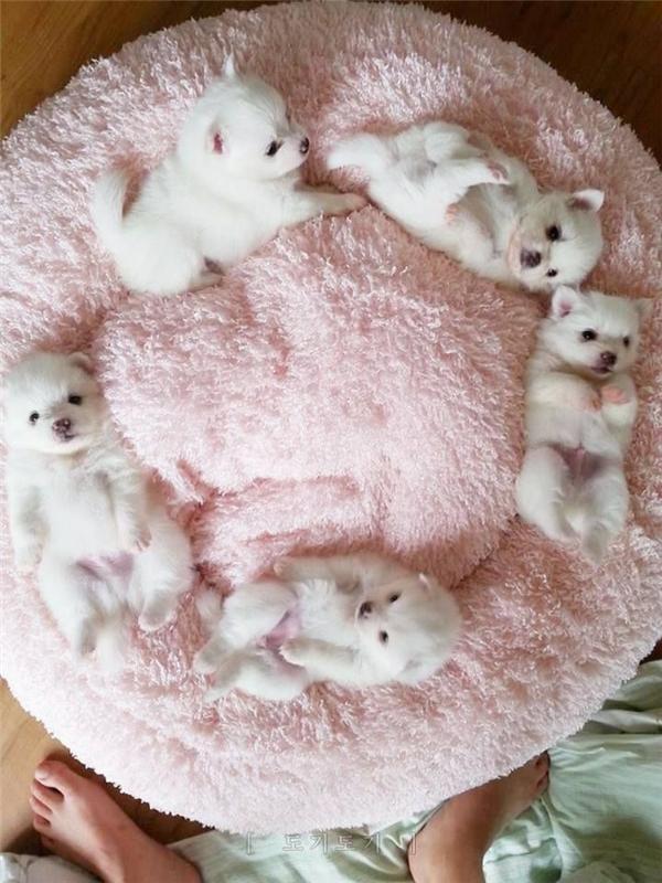 Teacup Pomeranian tuy nhỏ bé nhưng lại rất năng động, thân thiện và thích chơi đùa. Chúng cũng cực kìtrung thành và luôn thể hiện bản tính thích che chở, bảo vệ cho các thành viên trong gia đình.