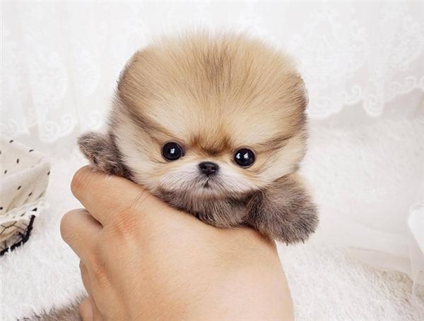 Tan chảy trước những chú chó cục bông đáng yêu nhất thế giới