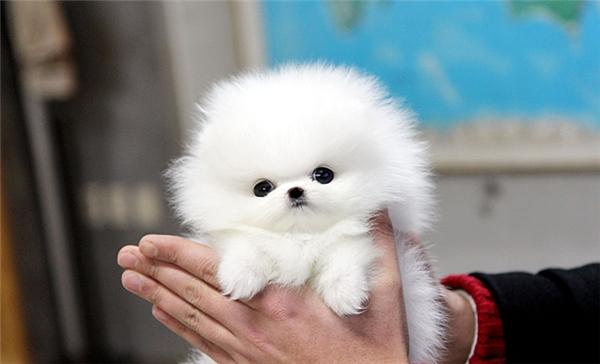 Thế nhưng điểm duy nhất không thay đổi dù các bé Teacup Pomeranian này còn nhỏ hay đã lớn chính là đôi mắt tròn xoe đen láy như hai viên bi trông hết sức ngây thơ, trong sáng.