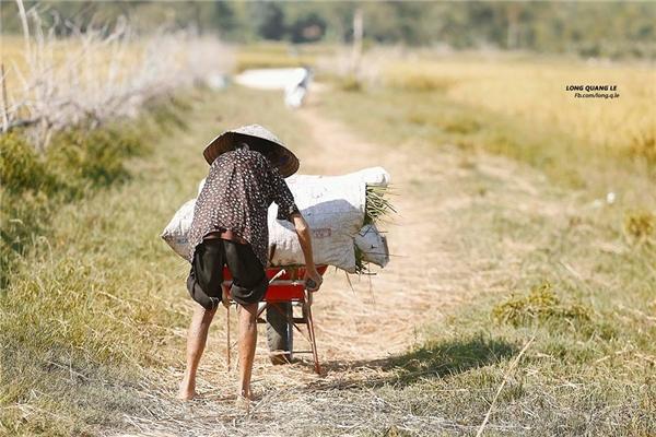 Hình ảnh bà cụ già khom lưng nơi đồng ruộng mênh mông giữa cái nắng trưa hè miền Trung.(Ảnh: Lê Quang Long)