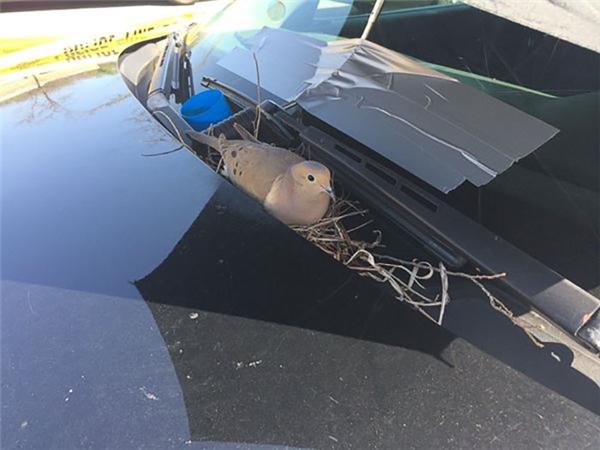 Chú bồ câu này đặt tổ ngay trên phần kính phía trước của xe cảnh sát tuần tra dự bị. (Ảnh: Julia Tullos)