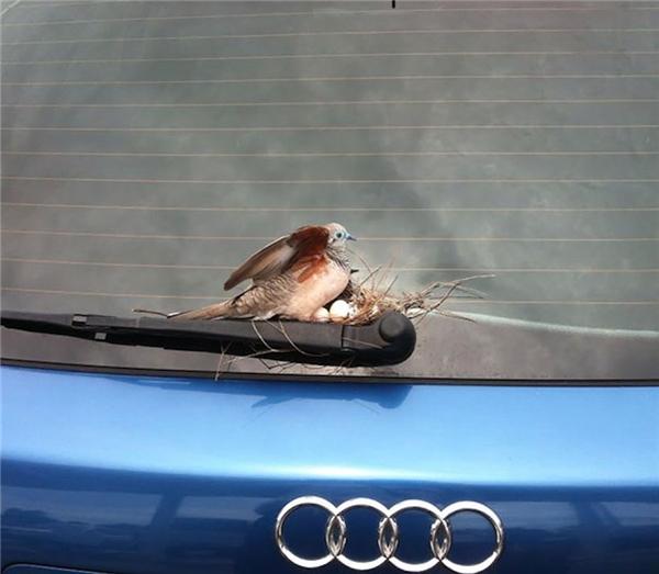 Chỉ không sử dụng chiếc xe trong 6 ngày, nhìn lại, chủ xe lại được một phen ngạc nhiên khi phát hiện chú chim đẻ trứng và làm tổ ngay trên cần gạt nước ở kính sau. (Ảnh: Reddit)