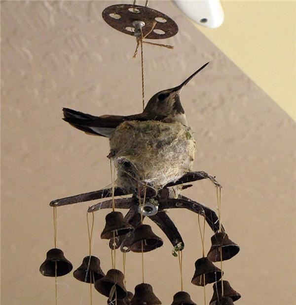 """Ngay cả một chiếc chuông gió cũ kĩ đung đưa theo gió, chú chim """"gan dạ"""" này cũng có thể sử dụng để làm tổ. (Ảnh: Internet)"""
