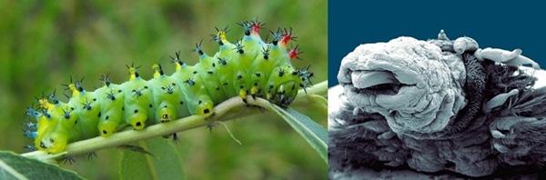 3. Vẻ bề ngoài của con sâu bướm bình thường cũng đủ khiến người ta rùng mình. Khi phóng to lên 30 lần, nó còn đáng sợ hơn rất nhiều.