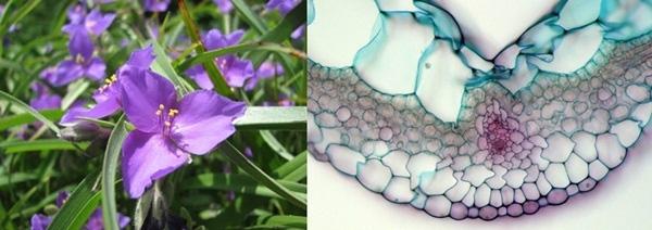 18. Đây là hình ảnh phóng to của cánh hoa thài lái tím thuộc họ Tradescantia.