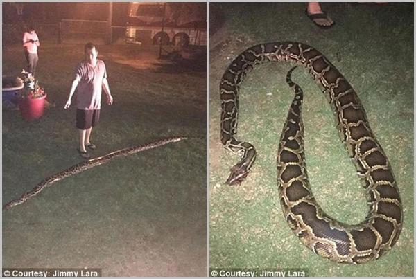 Con trăn khổng lồ dài hơn 4m trong sân nhà Lara. (Ảnh Jimmy Lara)