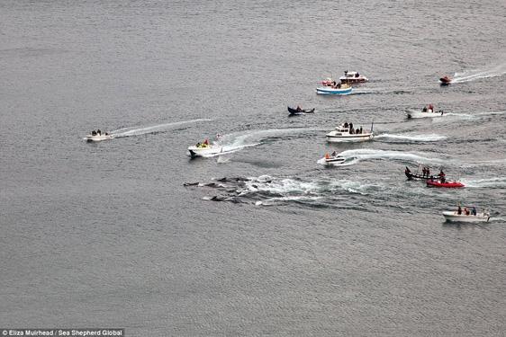 Để bắt cá voi, dân làng sẽ lái xuồng máy chạy ra khơi để xua chúng vào bờ.
