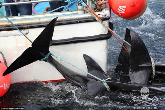 Khi bầy cá túm tụm lại một chỗ, chúng sẽ dễ dàng bị người trên xuồng trói lại bằng dây thừng và kéo vào bờ.