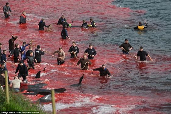 Họ được trang bị đồ bảo hộ và dây thừng gắn móc sắt nên việc lôi bắt cá voi lên bờ là rất đơn giản.