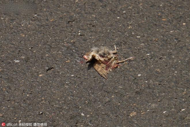 Một số con chim vì đi ra đường tìm thức ăn nên đã bị chết dưới bánh xe ôtô.